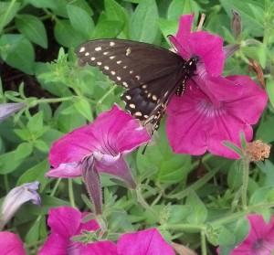 boilermaker butterfly